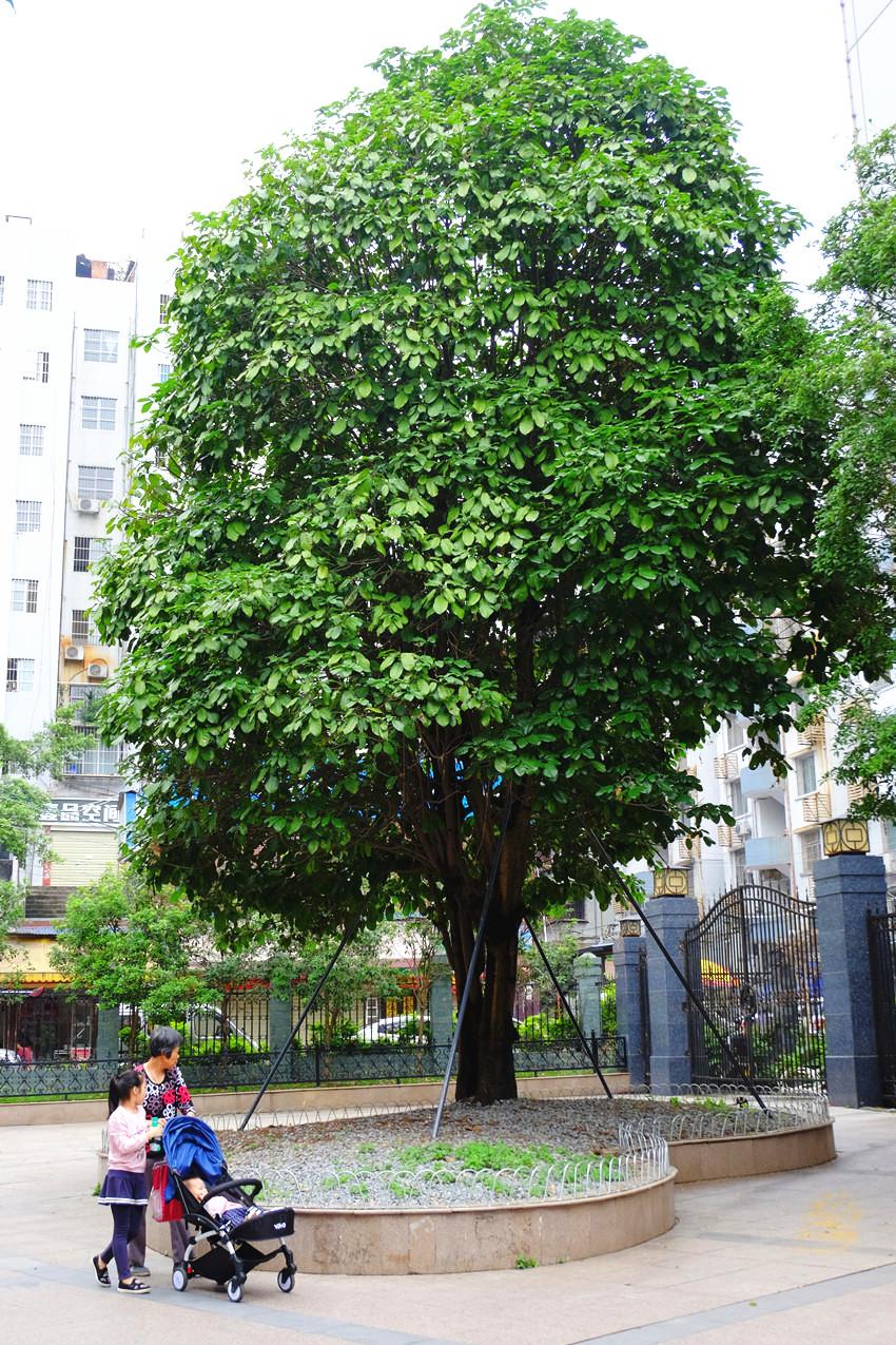 六旺树四季常绿,高可达20多米,树叶呈矩圆形或椭圆形,大如巴掌,青翠