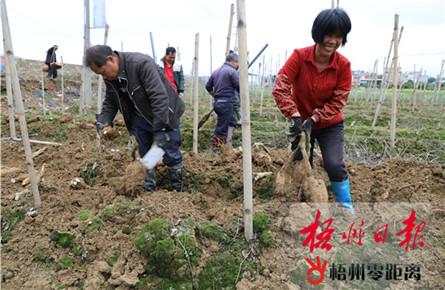 藤县和平镇新平村的贫困户收获粉葛