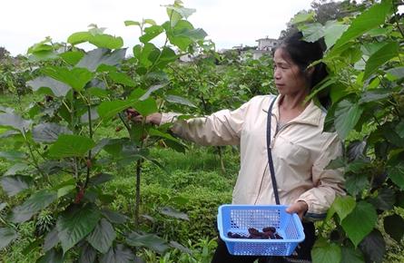种植桑葚开辟农民致富新门路