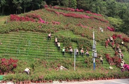 西江大桥桥头边坡增种宝巾花