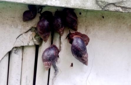 大量非洲蜗牛在翠薇居小区出没