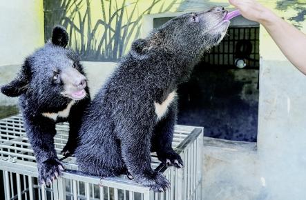 黑熊双胞胎兄妹健康成长