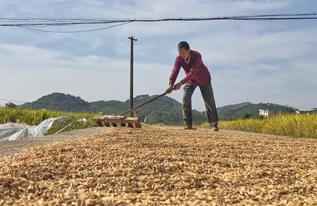 今年全市晚稻收成预计较去年增收约1.5%
