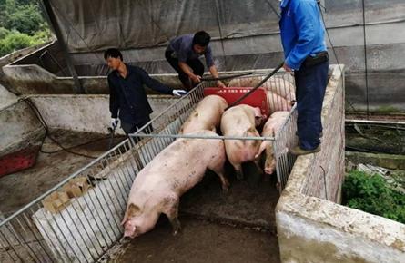 发宝合作社生猪出栏供不应求
