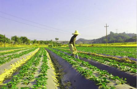 发展草莓种植