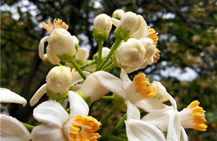 柚子花开香满园
