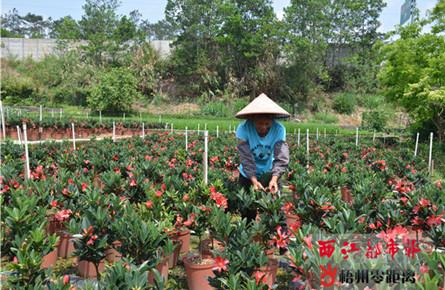 四季茶花 带动增收