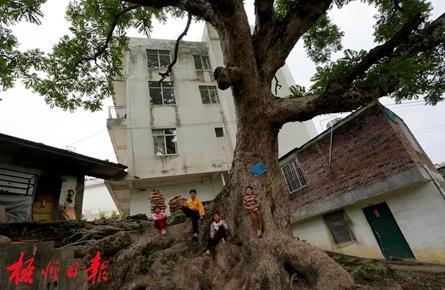 梧州这棵树龄300多年的香椿古树,陪伴着一代又一代人的成长