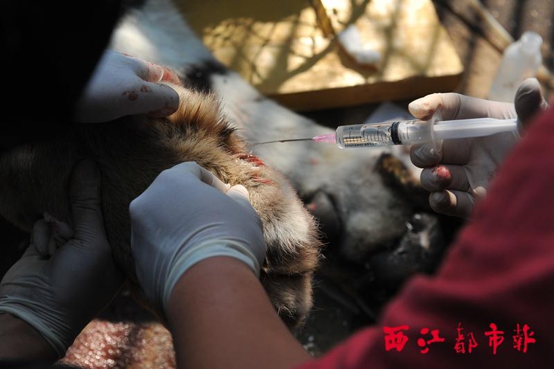 """梧州动物园给东北虎""""庆庆""""剪指甲"""