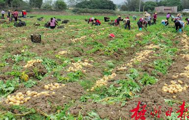 岑溪市归义镇农民收获冬种马铃薯