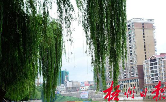 杨柳树根图片大全