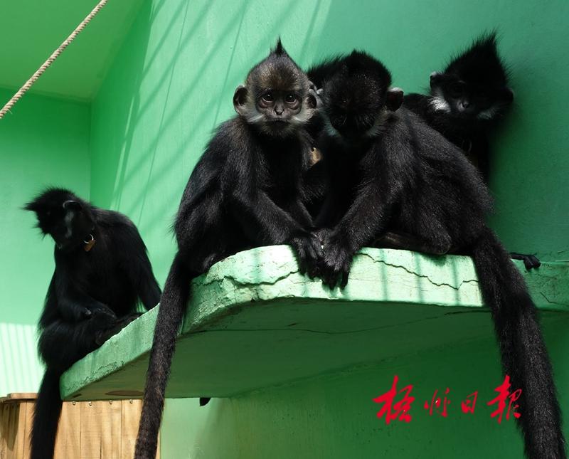 是我国一级保护动物,主要分布在广西
