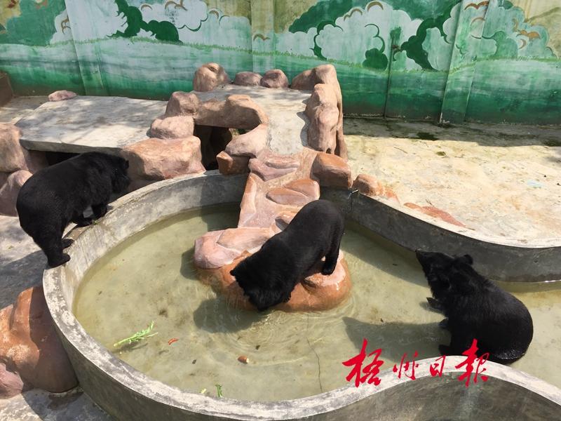 6月5日下午,市动物园的黑熊在水池里泡水,给身体降温.梁萍 摄