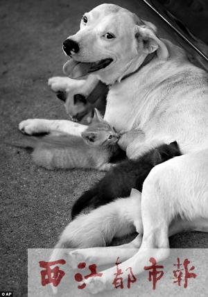 利(狗)正喂养刚出生的小猫.-西江都市报多媒体数字报刊平台图片